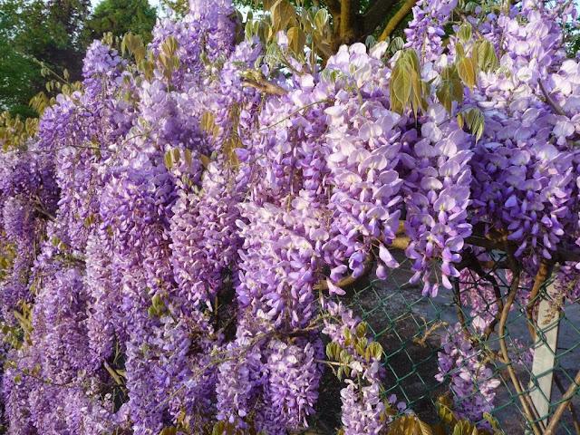 wisteria flower spring