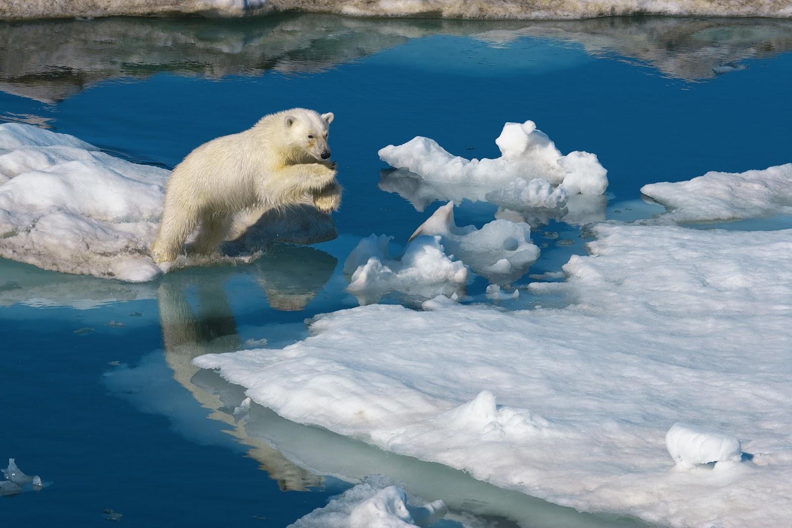 桌布下載: 跳躍浮冰的北極熊