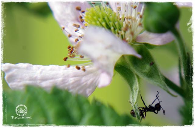 Gartenblog Topfgartenwelt Buchtipp Makrofotografie - die große Fotoschule: Ameise auf Brombeerblüte