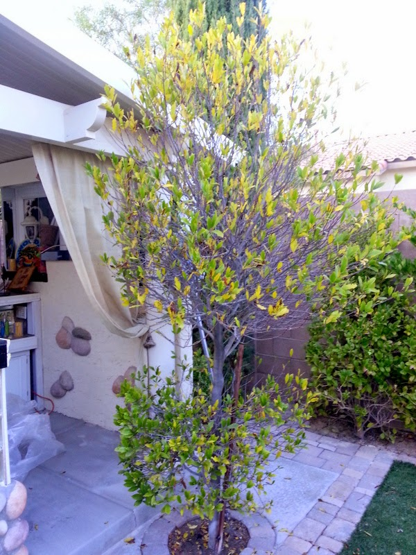 Xtremehorticulture Of The Desert Why Carolina Cherry Laurel Struggles In The Desert