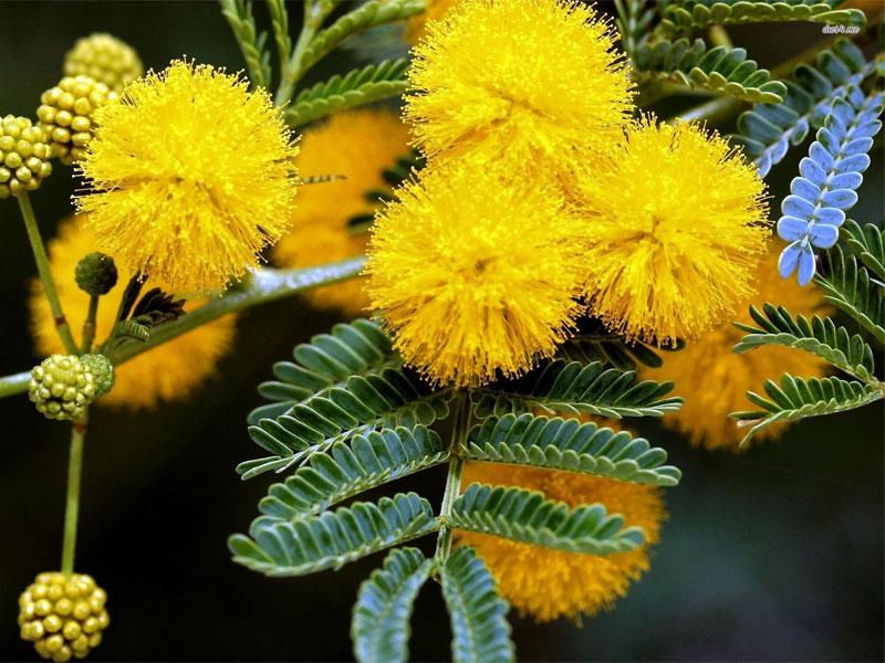 Картинки по запросу Mimoza