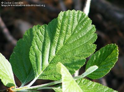 http://www.biodiversidadvirtual.org/herbarium/Sorbus-aria-(L.)-Crantz-img277884.html