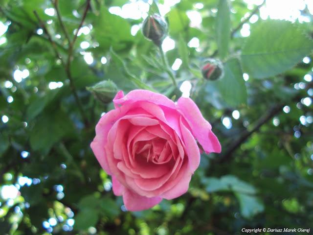 Piętnasty czerwiec to imieniny Jolanty, fot. Dariusz Marek Gierej