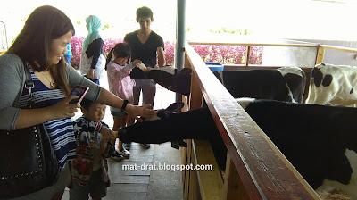Desa Cattle Dairy Farm Kundasang