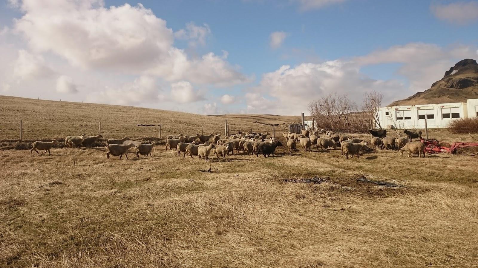 islandzkie owce, Islandia, zwierzęta Islandii