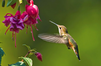 Fuchsia blooms and hummingbird