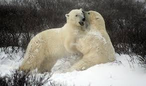 Polar Bear Facts in Hindi