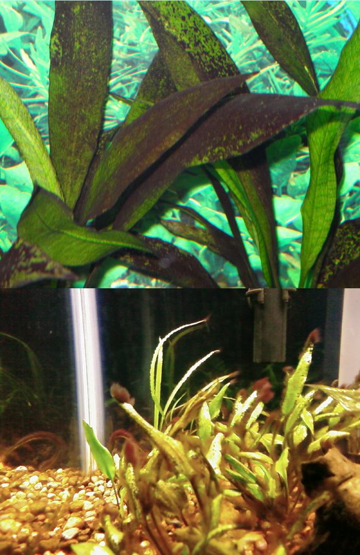 Black Algae In Aquarium - 1000+ Aquarium Ideas