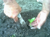 plantarea manuala a rasadurilor in 5 pasi