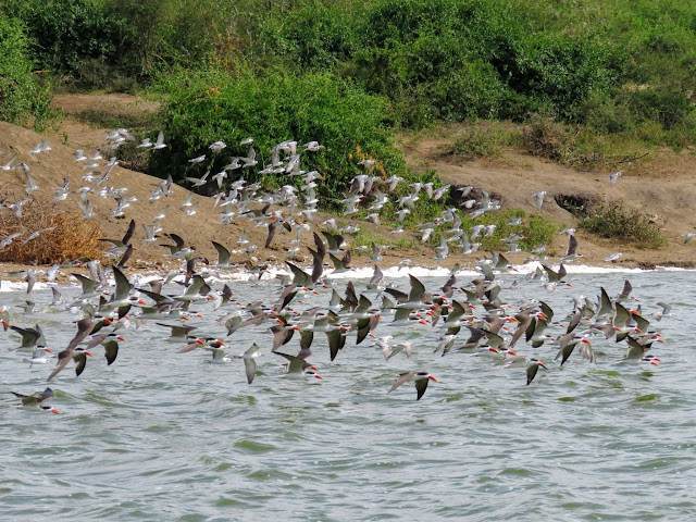African skimmers in flight on the Kazinga Channel in Western Uganda