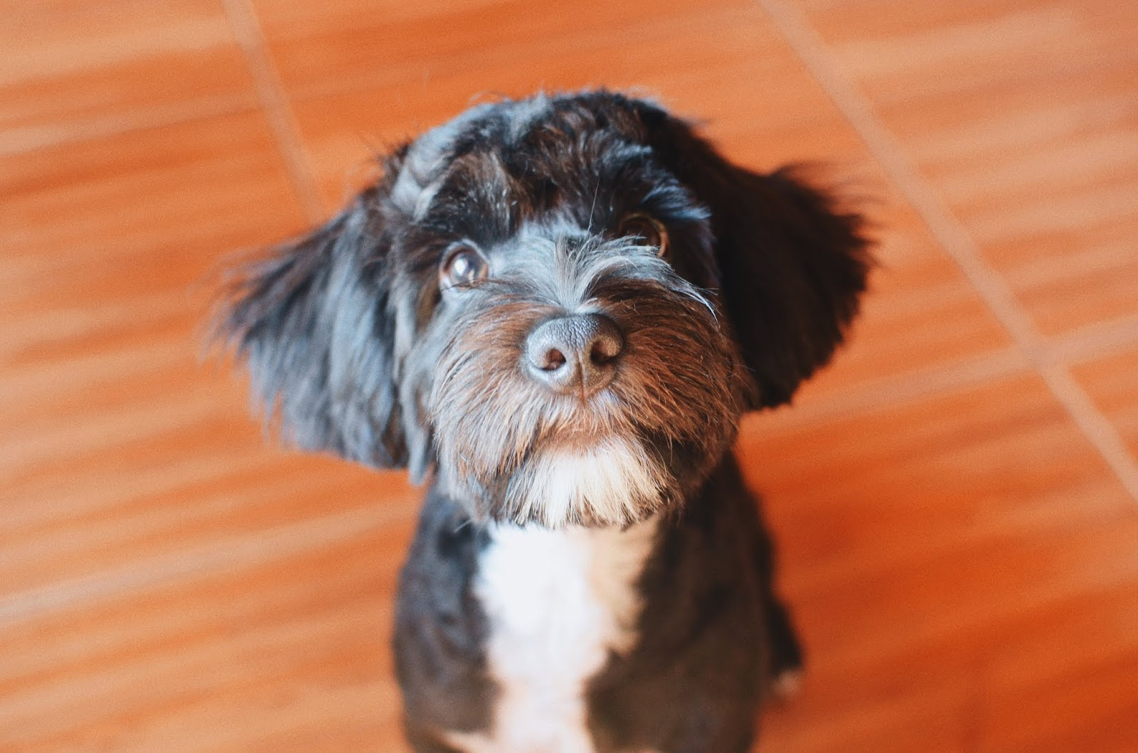 Oreo the Yorkie Poodle