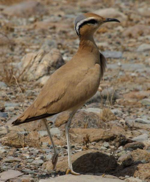 Cream-coloured courser - Cursorius cursor