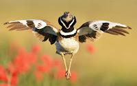 Sanki bale yapar gibi uçan bir Mezgeldek kuşunun önden görünümü