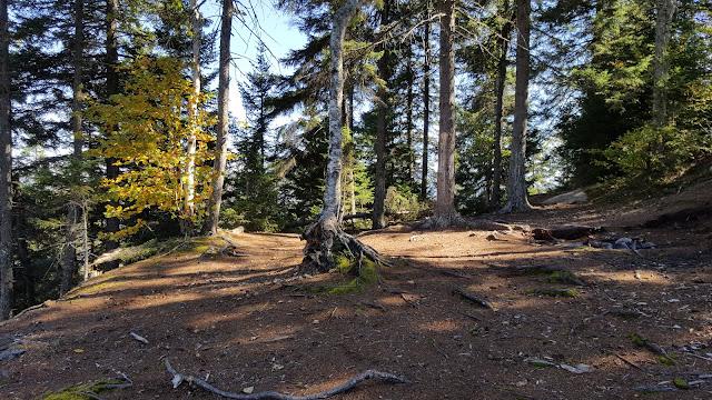 Plateau dans forêt de pins près du mont Gorille