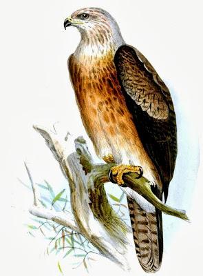Águila moluqueña Aquila gurneyi