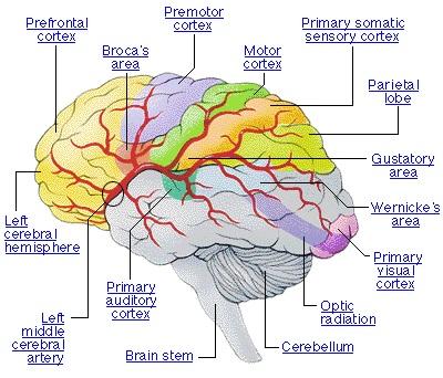 Neurosains Kognisi Dalam Otak Dan Gangguan Pada Otak 2_