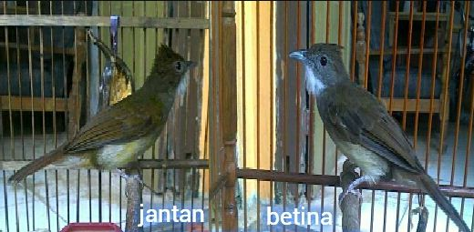 Tips Akurat Membedakan Burung Cucak Jenggot Jantan Dan Betina Den Family