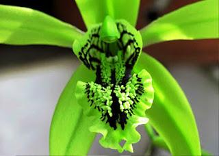 Gambar Bunga Anggrek Hitam (Black Orchid Flowers) 4000