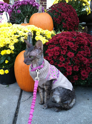 Kely the Cornish Rex posing by Pumpkins