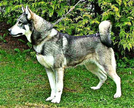 Elkhound Suedois Chien de garde