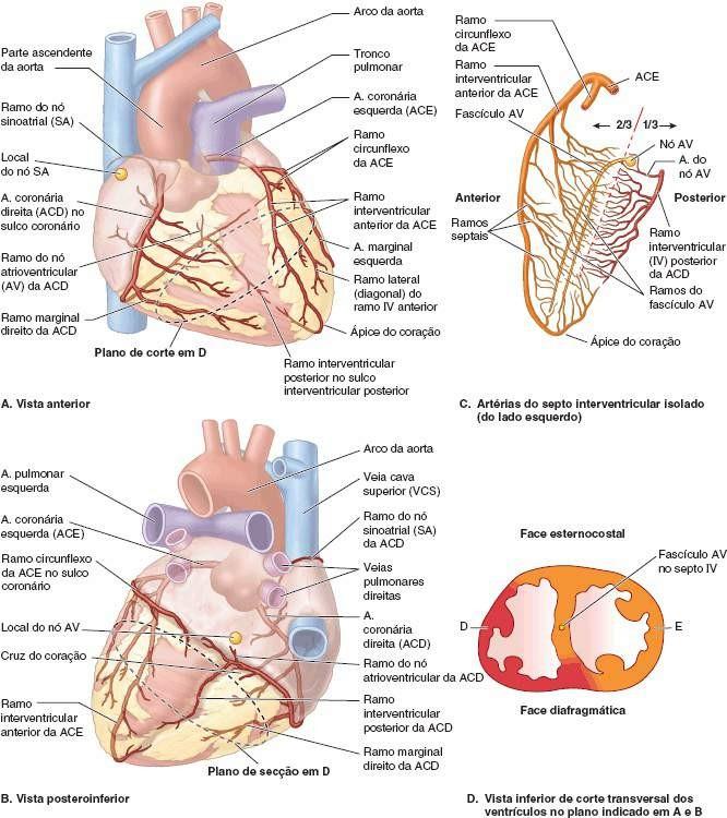 Contemporáneo Anatomía Tronco Pulmonar Ideas - Imágenes de Anatomía ...