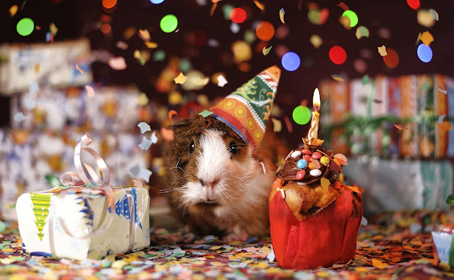 celebratory guinea pig, Reflecting on the 21-Day Blog Challenge, imogen molly blog, www.imogenmolly.co.uk