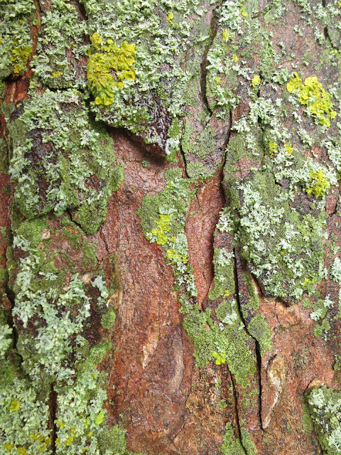 Flaking bark with lichen and reddish wood below