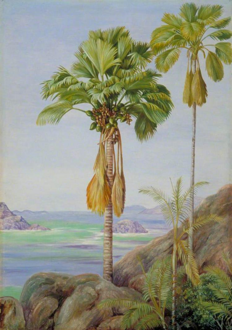Male and Female Trees of the Coco de Mer in Praslin (1883)