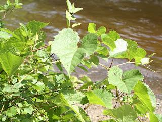 Vigne des rivages - Vitis riparia - Vigne sauvage - Raisin sauvage