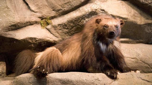 Trump propone cancelar protecciones para especies en extinción