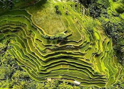 Ceking Rice Terrace