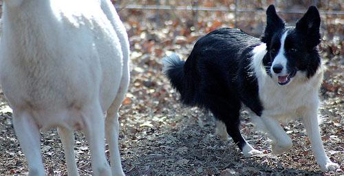 sheepdog names
