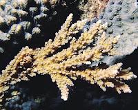 karang acropora austera
