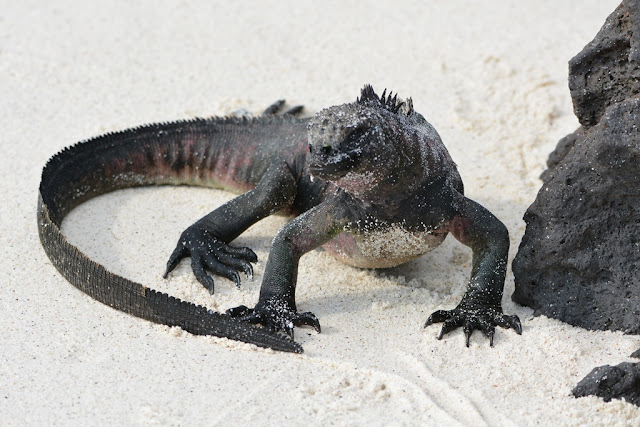 Gardner Bay Galapagos iguana round tail