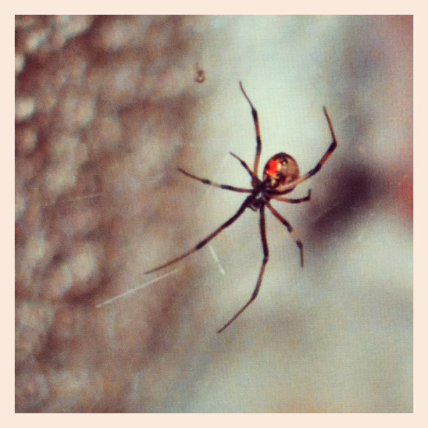 brown and black striped black widow spider
