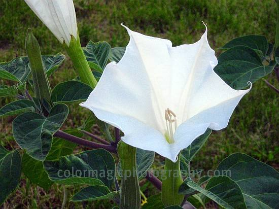Sacred Datura close up-Datura wrightii