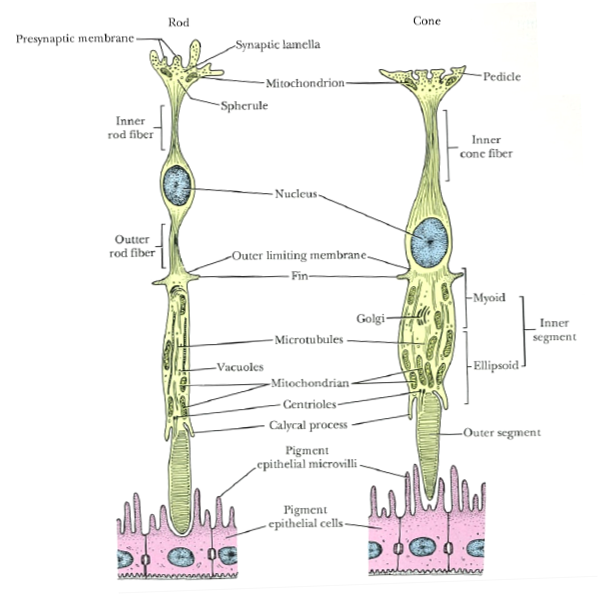 Eye Opener: Physiology - Rods and cones
