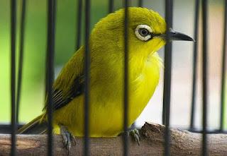 Burung Pleci Belajar Buka Paruh