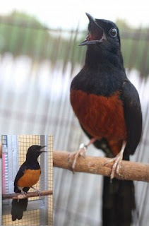 Kisaran Harga Terbaru Dan Ciri Ciri Fisik Burung Murai Batu Nias Paling Akurat