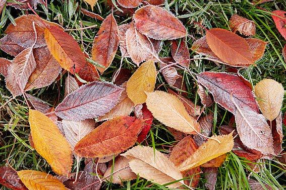 Kirschbaumblätter mit Reif