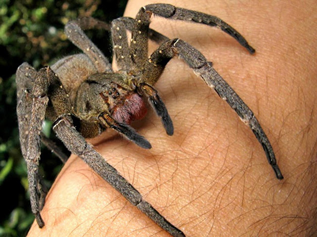 Brave Man Films Himself Playing With The World's Deadliest Spider
