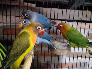 Umur Berapa Lovebird Mulai Ngekek