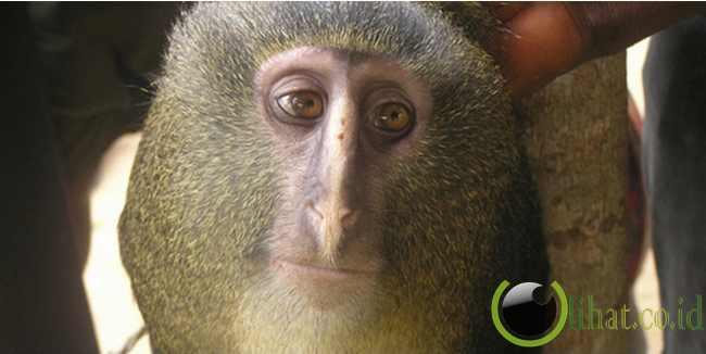 Monyet Lesula
