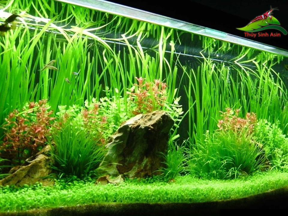Cây hẹ thích hợp trồng hậu cảnh trong bể thủy sinh