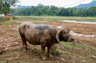 Pesona Wisata Budaya Tana Toraja : Jenis-Jenis Kerbau Atau Tedong di mata Masyarakat Tator Soko'