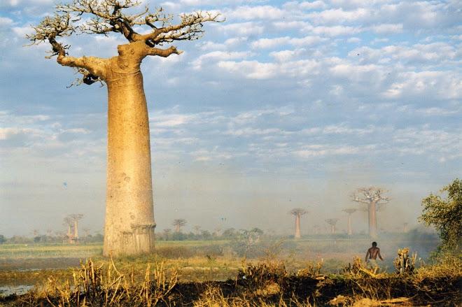 Pohon Botol Baobab