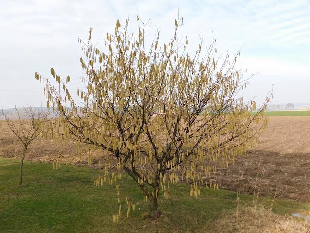 bazie, kotki, krzew, drzewo, zima, wiosna