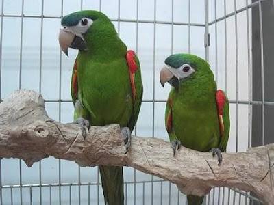 Hans Macaw Pair