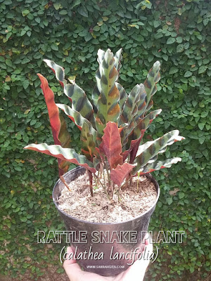 rattle snake plant