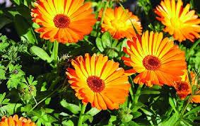 أهم فوائد نبات الاذريون للانسان